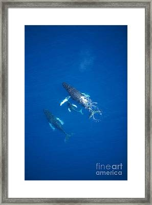 Humpback Whales Aerial Iv Framed Print by Ron Dahlquist - Printscapes