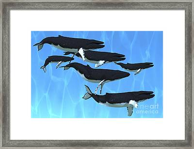 Humpback Whales Swim Together Framed Print by Corey Ford