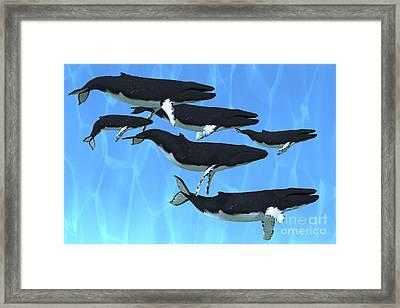 Humpback Whales Swim Together Framed Print