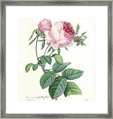 Hundred-leaved Rose Framed Print