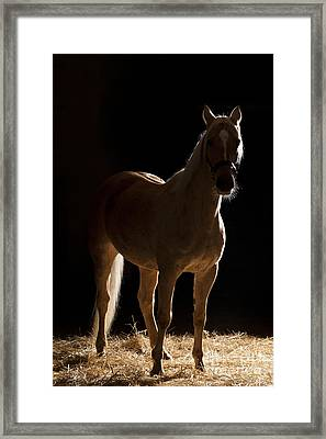 Hungarian Warmblood Framed Print