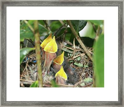 Hungry Baby Birds Framed Print by Jerry Battle