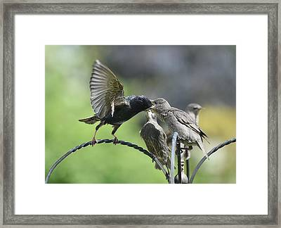 Hungry Baby Starlings Framed Print