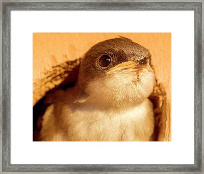 Hungry Baby Swallow Framed Print by Jean Noren