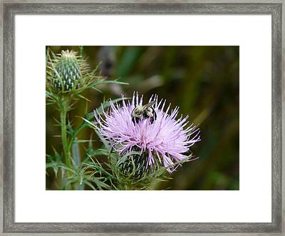 Hungry Bee Framed Print by Morning Dew