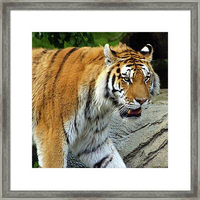 Hungry Cat Framed Print by Gordon Dean II