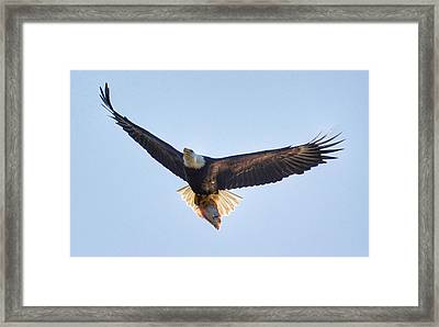 Hungry Eagle Framed Print