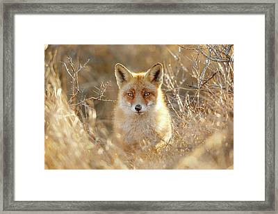 Hungry Eyes - Red Fox In The Bushes Framed Print by Roeselien Raimond