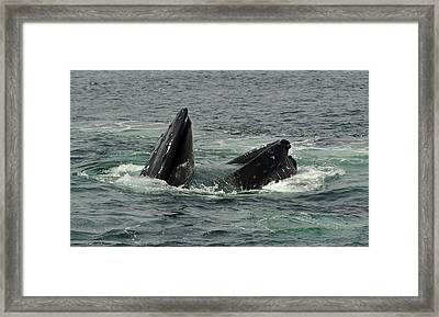 Hungry Humpback Framed Print by Rick Frost