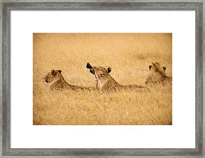 Hungry Lions Framed Print by Adam Romanowicz