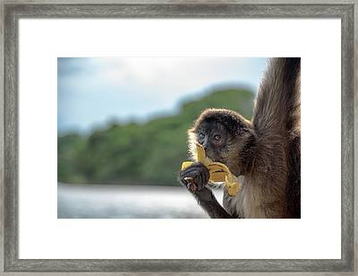 Hungry Monkey Framed Print by Michael Santos