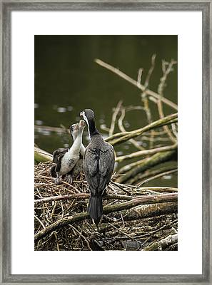 Hungry Pied Shag Chicks Framed Print