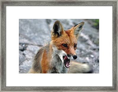 Hungry Red Fox Portrait Framed Print by Debbie Oppermann