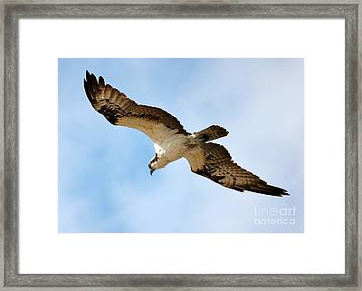 Hunter Osprey Framed Print