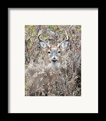 White-tailed Buck Framed Prints