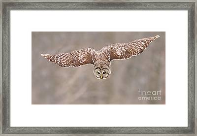 Hunting Barred Owl  Framed Print