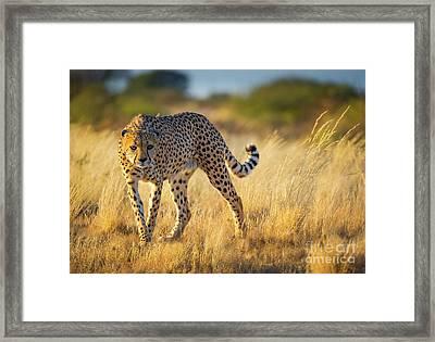 Hunting Cheetah Framed Print