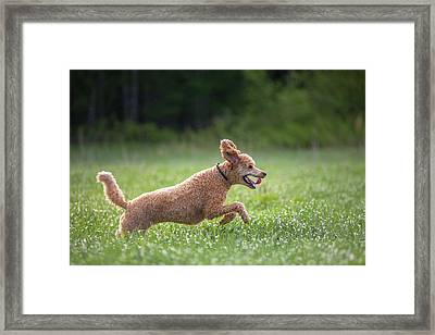 Hunting Dog Framed Print by Teemu Tretjakov