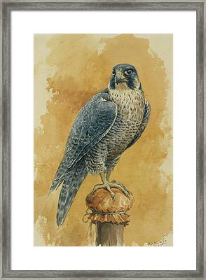 Hunting Falcon Framed Print