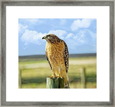 Hunting Hawk Framed Print by Susan Leggett