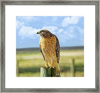 Hunting Hawk Framed Print