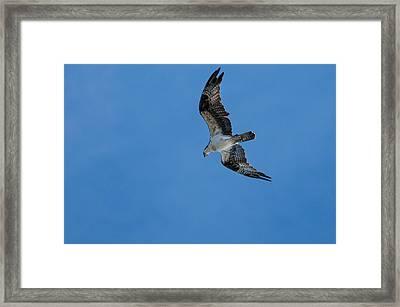 Hunting Osprey Framed Print
