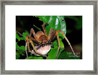 Huntsman Spider With Egg Sac Framed Print by Fletcher & Baylis