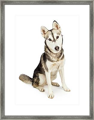Husky Crossbreed Dog With Attentive Expression Framed Print by Susan Schmitz