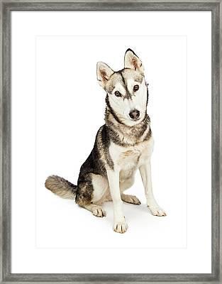 Husky Crossbreed Dog With Attentive Expression Framed Print