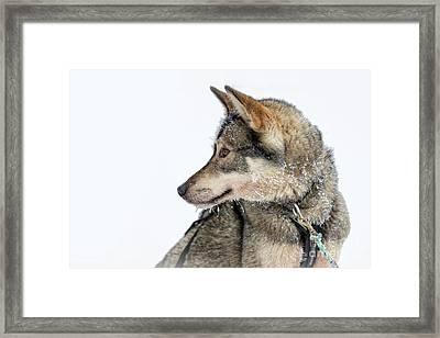 Husky Dog Framed Print by Delphimages Photo Creations