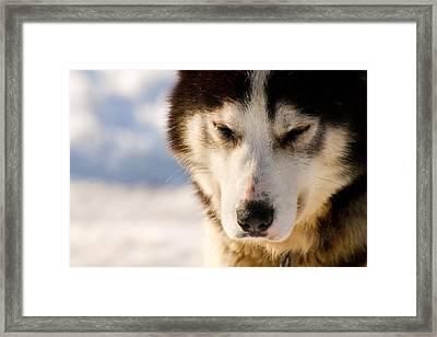 Husky Framed Print by Martin Rochefort
