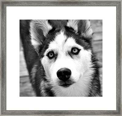 Husky Pup Framed Print