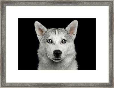 Husky Puppy Framed Print by Sergey Taran