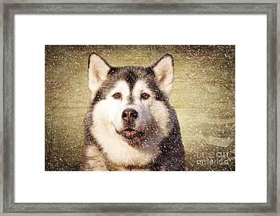 Husky Framed Print by Nichola Denny