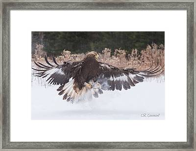Hunting In The Snow Framed Print by CR Courson