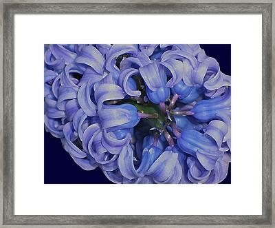 Hyacinth Curls Framed Print
