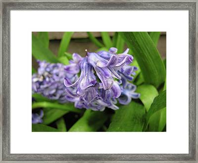 Hyacinth Flowers Framed Print by Richard Mitchell