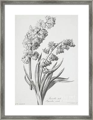 Hyacinth Framed Print by Gerard van Spaendonck