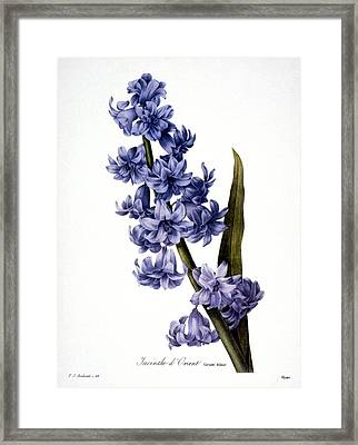 Hyacinth Framed Print by Granger