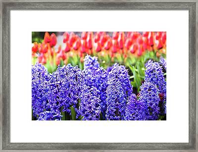 Hyacinth In Bloom Framed Print by Tamyra Ayles