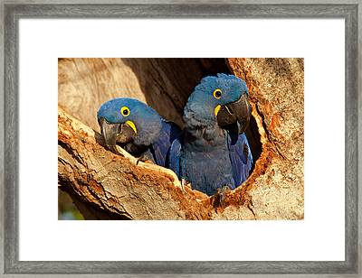 Hyacinth Macaw Pair In Nest Framed Print