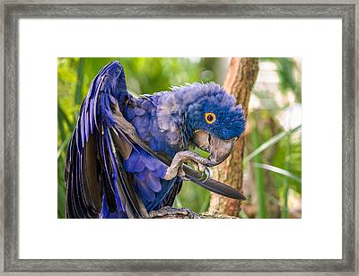Hyacinth Macaw Framed Print by Rob Sellers
