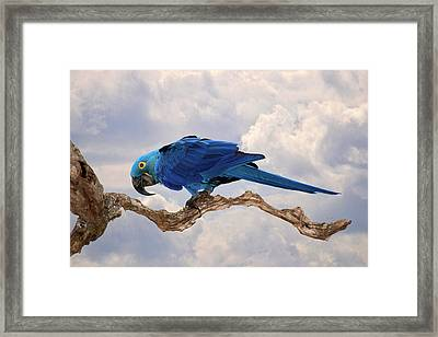 Framed Print featuring the photograph Hyacinth Macaw by Wade Aiken