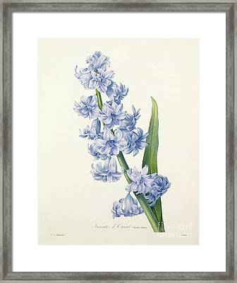 Hyacinth Framed Print