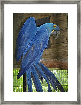 Hyacinth Sheen Framed Print