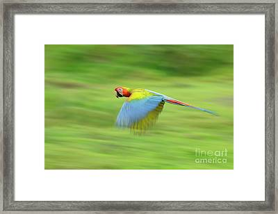 Hybrid Macaw Framed Print