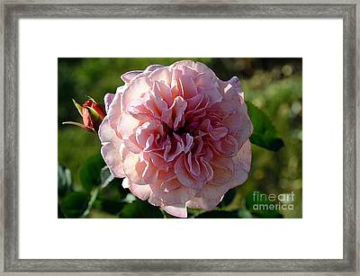Hybrid Tea Rose Framed Print