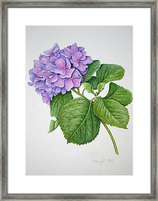 Framed Print featuring the painting Hydranga by Margit Sampogna