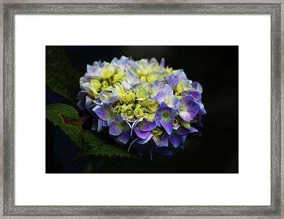 Hydrangea 3705 H_2 Framed Print