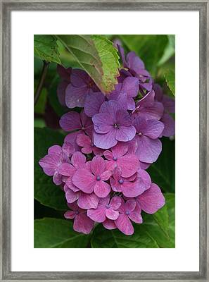 Hydrangea 7 Framed Print